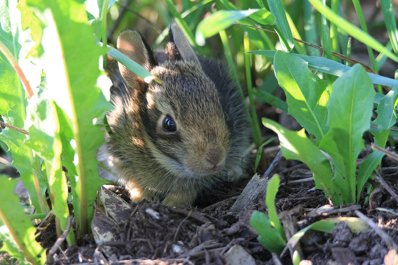 A Rabbit in Hiding in Seneca County (photo)